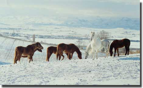 Broodmares in the snow