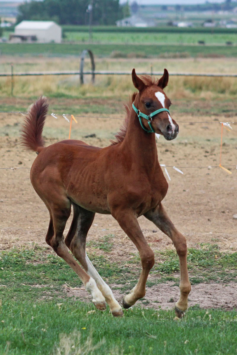Cal Emit Filly